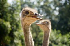De struisvogels of de gemeenschappelijke struisvogel of Struthio-camelus ontspannen in landbouwbedrijf bij Royalty-vrije Stock Afbeeldingen