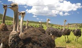 De Struisvogels van Chattering Royalty-vrije Stock Afbeelding