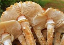 De studie van de melleakieuw van Armillaria Stock Fotografie