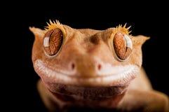 Kuif gekko royalty-vrije stock fotografie