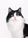 De studioschot van de kat Stock Foto's