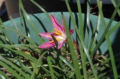 De stuifmeel-geladen kleurrijke 'Mexicaanse Lelie 'in levendig Magenta, opent wijd stock afbeelding