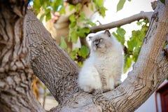 De sublieme witte en grijze Himalayan-kat zit over op boomhorloge mos stock foto