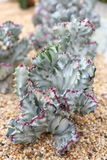De Succulente Installatie van wolfsmelklactea Forma Cristata Variegata Stock Foto