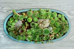 De succulente tuin houten vlakte als achtergrond lag Royalty-vrije Stock Foto's