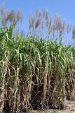 De suikerrietbloem, Suikerrietaanplanting, Suikerrietinstallaties groeit op gebied, de boomlandbouwbedrijf van het Aanplantingssu Royalty-vrije Stock Afbeeldingen
