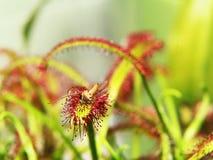 De super macro van mooi zonnedauw (drosera) insect catched door de installatie Royalty-vrije Stock Foto's