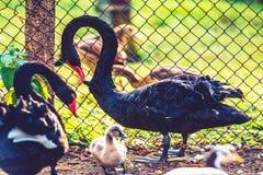 De svarta svanarna Royaltyfria Foton
