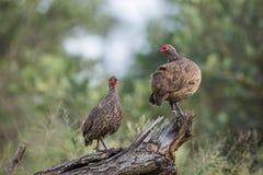 ` De Swainson s Spurfowl en parc national de Kruger, Afrique du Sud image stock
