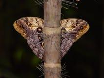 De symmetrie van de vlinder Stock Foto