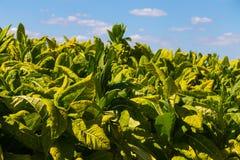De tabak plant de Provincie van Gewassenlancaster Stock Fotografie