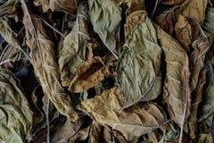 De tabaksbladeren zijn droog Stock Afbeelding