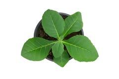 De tabaksjonge plant isoleert op witte achtergrond. Stock Afbeelding