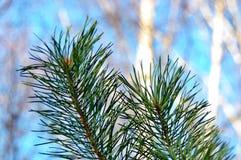 De tak dichte omhooggaand van de pijnboom stock fotografie