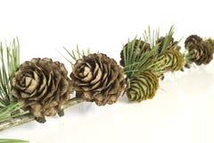 De tak en de kegels van de lariksboom Royalty-vrije Stock Foto's