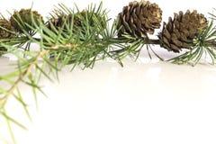De tak en de kegels van de lariksboom Stock Foto's
