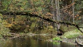 De tak met de herfst verlaat het slingeren in de wind op een achtergrond van de rivier stock videobeelden