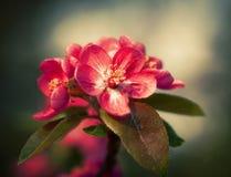 De tak met de lente bloeit bloesems Royalty-vrije Stock Foto