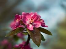 De tak met de lente bloeit bloesems Royalty-vrije Stock Afbeelding