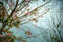 De tak met roze sakura komt bloemen tot bloei Natuurlijke achtergrond bij hooglanden Stock Afbeelding