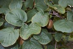 De tak van Actinidiadeliciosa met kiwifruit stock afbeeldingen