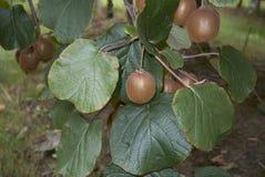 De tak van Actinidiadeliciosa met kiwifruit stock foto