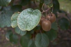 De tak van Actinidiadeliciosa met kiwifruit stock afbeelding
