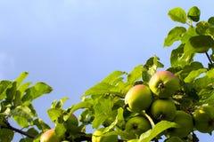 de tak van de appelboom met bladeren stock foto's