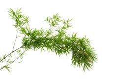 De tak van de bamboeboom op witte achtergrond wordt geïsoleerd die stock foto