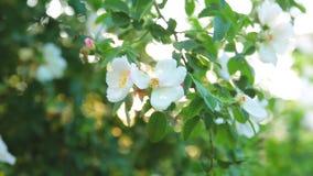 De tak van de close-upboom met groen gebladerte en mooie de lente witte bloemen slingert in wind tegen heldere zon stock videobeelden