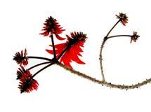 De Tak van Corallodendrum van Erythrina stock afbeelding
