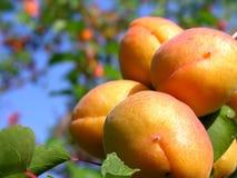 De tak van de abrikoos Stock Fotografie