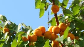 De tak van de abrikozenboom stock videobeelden