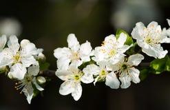 De tak van de abrikozenboom met bloemen in de vroege lente Royalty-vrije Stock Foto's