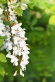 De tak van de acacia op een achtergrond van groene bladeren Stock Foto's