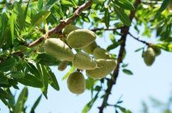 De tak van de amandel met bos van vruchten Stock Fotografie