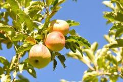 De Tak van de appel Royalty-vrije Stock Foto
