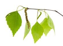 De tak van de berk met verse groene bladeren. Stock Foto's