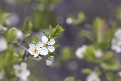 De tak van de bloesems van de kersenboom Stock Afbeeldingen