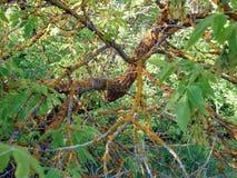 De tak van de boom in het bos wordt beïnvloed door de ziekte stock foto's