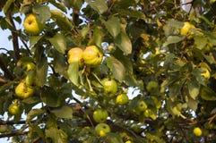 De tak van de boom met appelen Royalty-vrije Stock Afbeeldingen