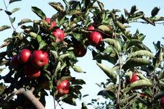 De Tak van de Boom van de appel Stock Fotografie
