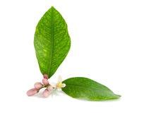 De tak van de citroen, bloem, knoppen, bladeren. Royalty-vrije Stock Afbeeldingen