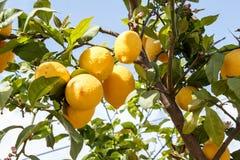 De tak van de citroenboom met bladeren op blauwe hemel Stock Foto