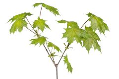 De tak van de de esdoornboom van de lente Stock Foto