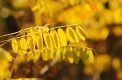 De tak van de de herfstboom Royalty-vrije Stock Afbeelding