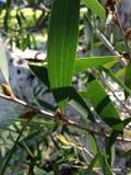 De tak van de eucalyptusboom royalty-vrije stock foto's