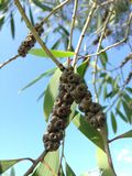 De Tak van de eucalyptusboom met Zaden stock fotografie