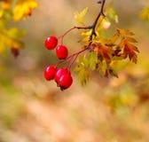 De tak van de fotohaagdoorn met bessen en bladeren in de herfst Royalty-vrije Stock Fotografie