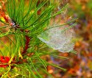 De tak van de fotopijnboom met spinneweb met dauw Stock Fotografie